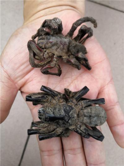 黑蜘蛛到哪里买多少钱一斤