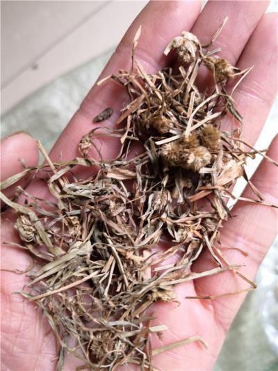 供应蜈蚣草批发零售蜈蚣草多少钱一斤