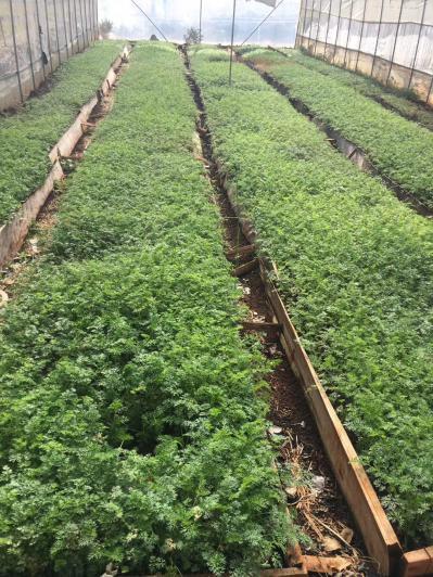 前胡种苗供应,一年苗,长势良好。随时都可以栽种