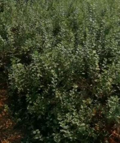 江西单叶蔓荆子扦插苗