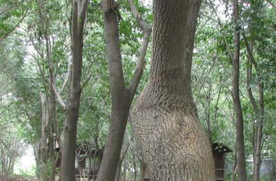 供应大量杜仲皮 杜仲叶 纯种野生天然长成  药用价值堪称最佳 质量保证 价格美丽