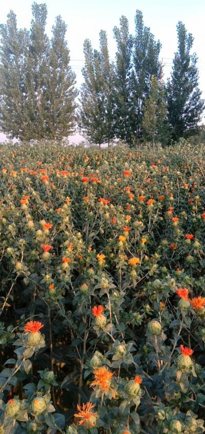 红花。自己家种的有十几亩地。有四五百斤左右