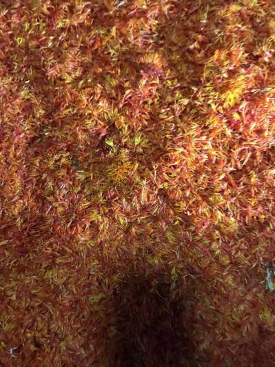草红花出售大量长期有货