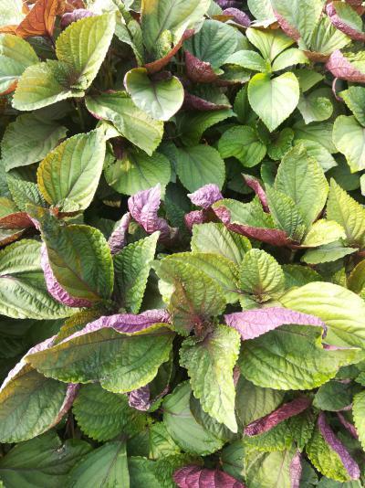 大量出售紫苏干叶鲜叶
