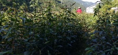 皱皮木瓜树苗;药材木瓜树苗出售