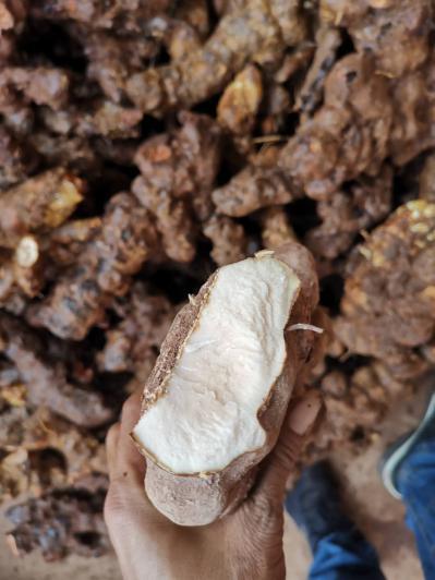 长期供应云南野生土茯苓,六两以上大货。
