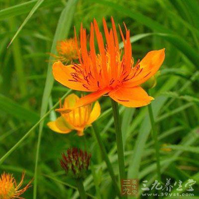 大量优质纯野生金莲花