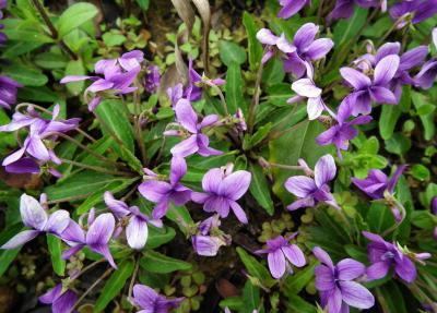 收洛阳,郑州,三门峡紫花地丁种苗少量,价格可翻倍