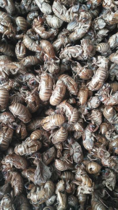 土蝉衣质量品质都是优等品欢迎你的到来