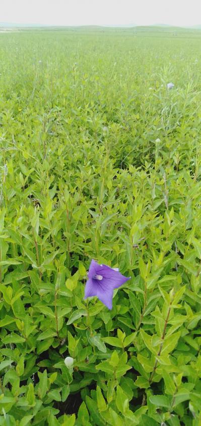 出售500亩桔梗种苗