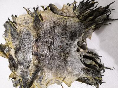 蟾衣一个多少钱 哪里有卖蟾衣的 蟾衣入药有什么作用