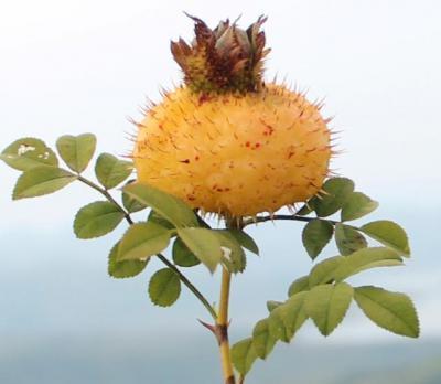 贵州特产刺梨鲜果