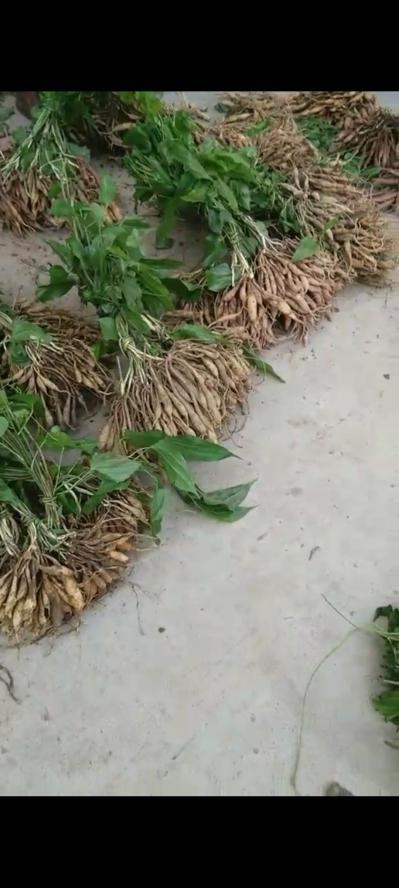 湖北对叶高产百部分株苗、种子苗、纯净干种子