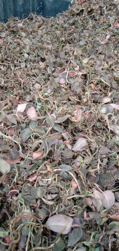 野生金线莲