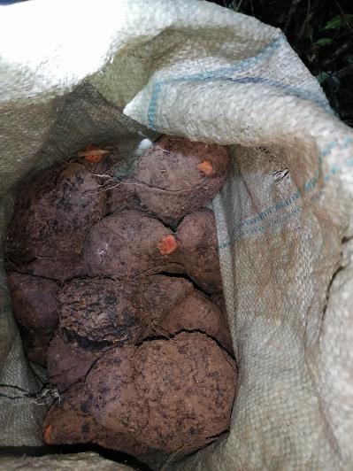 野生红孩血,薯莨,染布薯