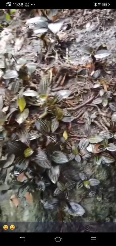 海南野生金线莲