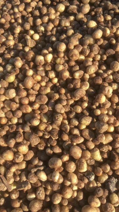小叶旱半夏,抗病能力强,容易管理,亩产两千斤,有多年种植经验,免费指导。