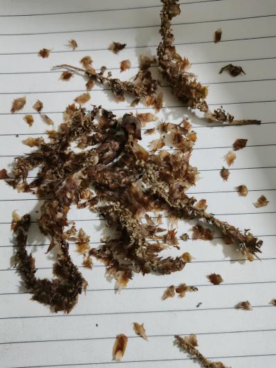 冷背药材杨树花批发,杨树花哪里的便宜