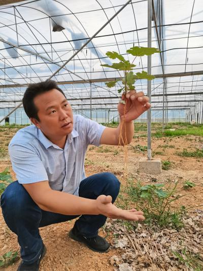 博落回种植技术博落回种植效益博落回种植基地伟民公司专业种植博落回