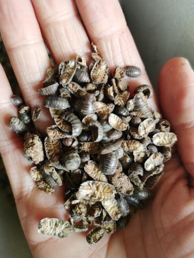 昆虫类中药材鼠妇虫价格多少,哪里能买到鼠妇虫一克多少钱
