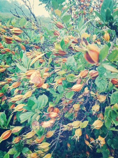 大量供应黄栀子鲜果