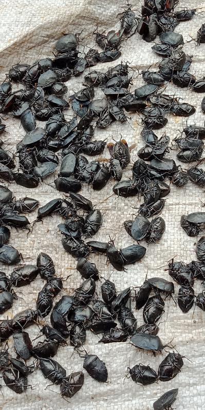 又大又臭的九香虫