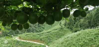 贵州高山罗汉果鲜果求售