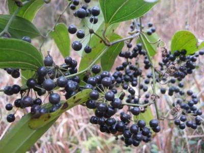 土茯苓种子