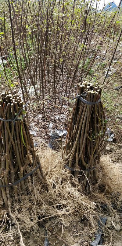 广西河池罗城县2020年基地大量批发中花吴茱萸苗,60公分以上高,0.8地径的健康无病菌扦插苗。