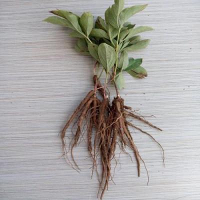 赤芍苗,芍药籽,免费提供种植技术、包教包会