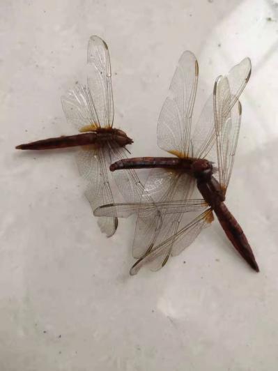 大蜻蜓 活蜻蜓 绿头蜻蜓有药用功效,那里有的卖,价格是多少,商