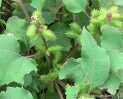 苍耳草是什么药材 安国中药材苍耳草一斤多少钱