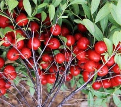 钙果苗、山西钙果苗、晋南新品种钙果苗培育基地