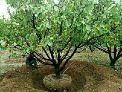 杏树基地、大规格杏树种植基地、山西运城