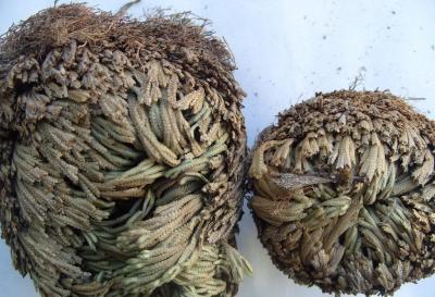 卷柏(还魂草)一斤多少钱 哪个药店有卖卷柏还魂草的