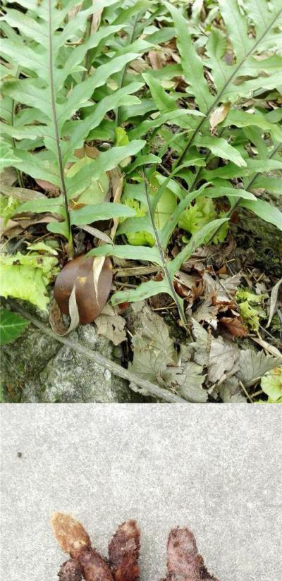 爬岩姜、骨碎补、毛姜、猴姜