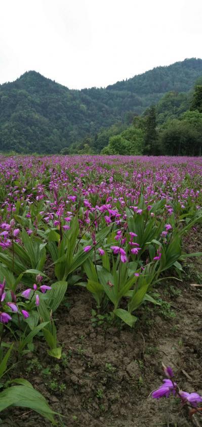 紫花三叉白芨种芽或块茎