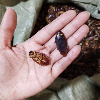 供应蟑螂蟑螂批发零售到那里买蟑螂多少钱一斤