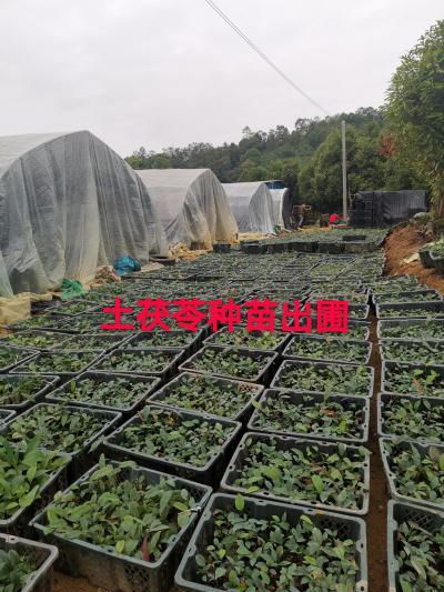 土茯苓种苗