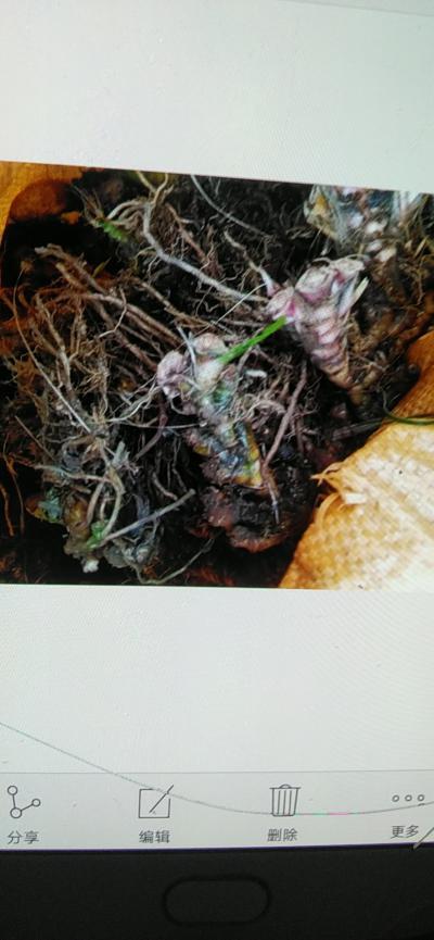 石菖蒲种苗