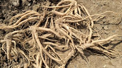 鲜桔梗 3年以上的  要卖  没给化肥 山沟里自家种的