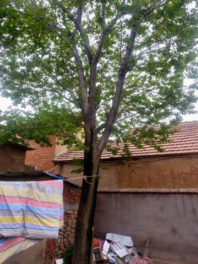 庭院中一颗七十来年的杜仲树,枝繁叶茂,生机旺盛,老树底部周长145cm,现寻找有缘人。