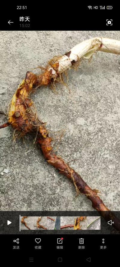新鲜野生虎杖