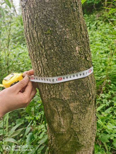 万亩98年退耕还林栽种的杜仲割皮出售