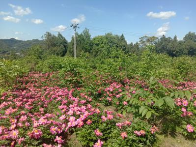 鲜白芍村里合作社有100多亩,5年货,量大的联系
