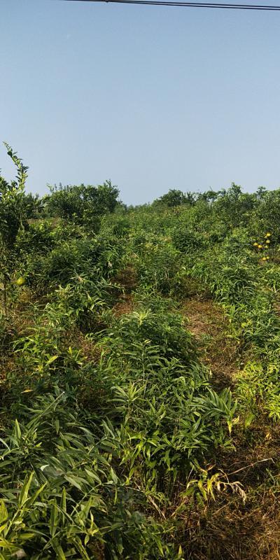 供应4年期黄精150亩