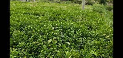 大量出售南板蓝根种苗