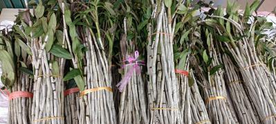 种植7年的铁皮石斛终于采摘了