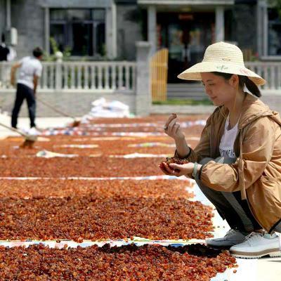 发动农村人采摘的桃胶