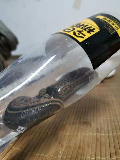 优质野生水蛭,手工扑捉